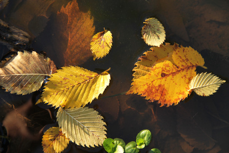 yellow alder: close photo of yellow alder leaves fallen into the puddle of water Stock Photo