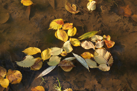 yellow alder: yellow leaves of alder and willow fallen into the puddle of water
