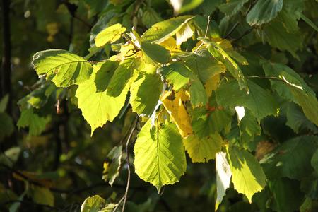 albero nocciolo: diverse foglie verdi e gialle di nocciolo illuminato con il sole Archivio Fotografico