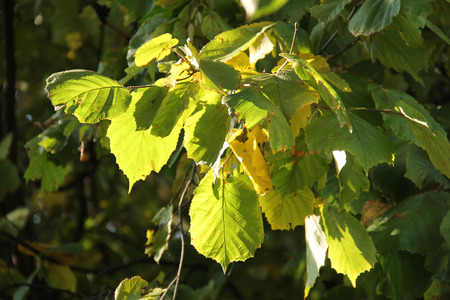 hazel branches: several green and yellow leaves of hazel tree enlightened with the sun