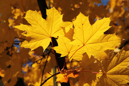 twig of maple tree with bright yellow leaves enlightened with the sun