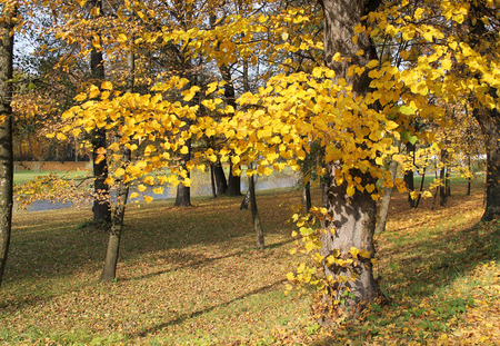 lime tree with beautiful bright yellow leaves in the park