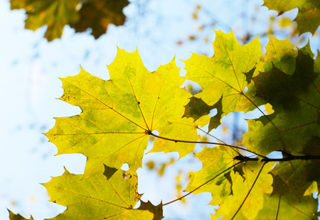 twig of maple tree with nice yellow leaves in autumn