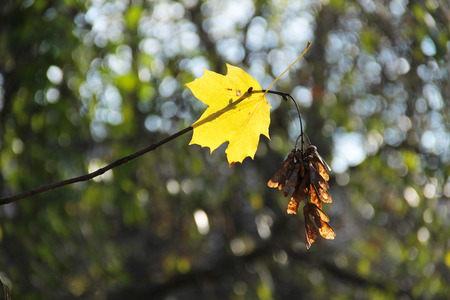 bright yellow maple leaf stuck on the twig with seeds in autumn