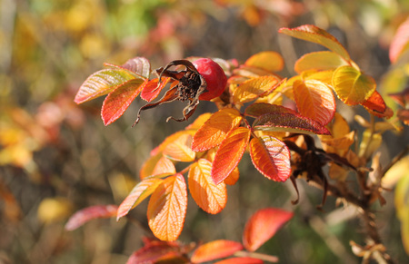 sear and yellow leaf: close photo of common medlar (Mespilus germanica) with sear fruit and colorful leaves in autumn