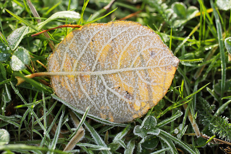 sear and yellow leaf: close photo of fallen round yellow leaf covered with hoarfrost in the grass in cold autumn