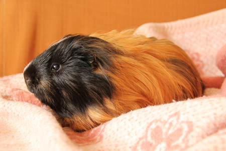 cute black and ginger guinea pig with long hair relaxing on the pink blanket