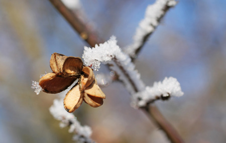 close photo of sear fruit of common spindle (Euonymus europaeus) with hoarfrost and snow Stock Photo