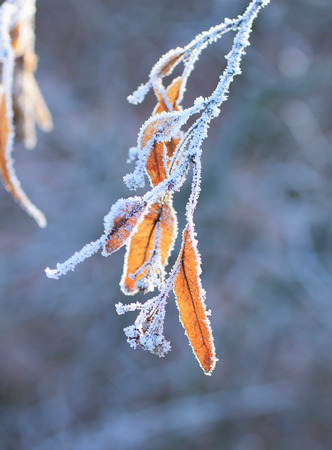 close photo of seeds of lime tree covered with hoarfrost and snow in winter