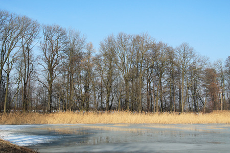 sear: frozen pond, yellow sear reed and bare trees on its bank in Poodri, Czech Republic