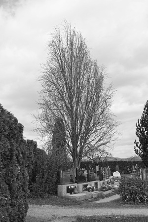 black and white photo of graves under the old bare tree on the cemetery in Hodonovice, Czech Republic