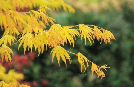twigs of Japanese maple (Acer palmatum) with yellow leaves Stock Photo