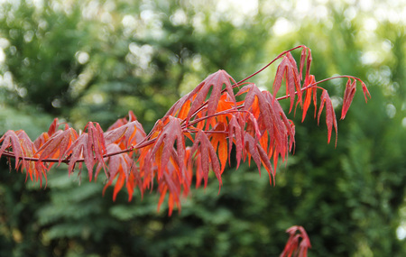 twig of Japanese maple (Acer palmatum) with crimson leaves