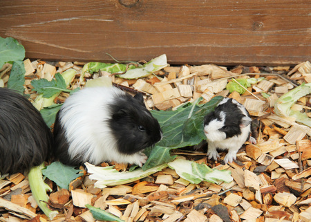 cute little black and white guinea pig and its mother eating leaves