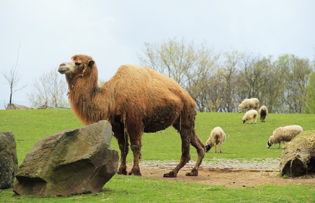 camel and some sheep at the background living together in the enclosure in ZOO Stock Photo