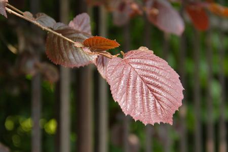 close photo of purple leaves of filbert (Corylus maxima Purpurea), species of hazel tree Stock Photo