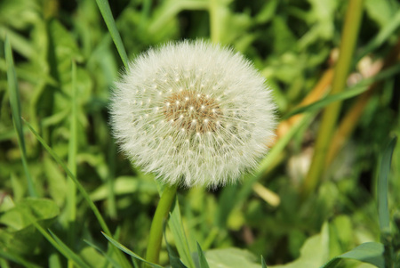 close photo of dandelion with soft white fluff Stock Photo