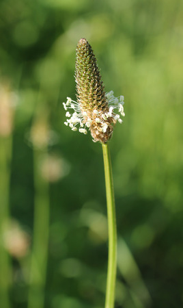 plantain herb: close photo of blooming narrowleaf plantain (Plantago lanceolata)