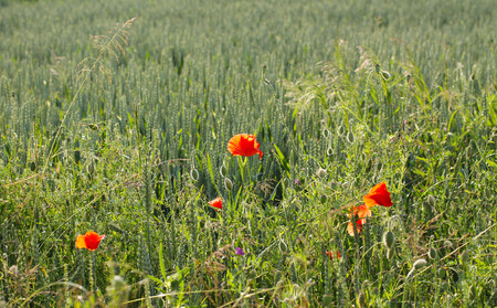 some blooming poppies growing on the edge of crop field