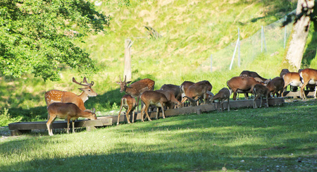 herd of mouflons and fallow deers with spotted fur in deer park in summer, Hukvaldy, Czech Republic Stock Photo