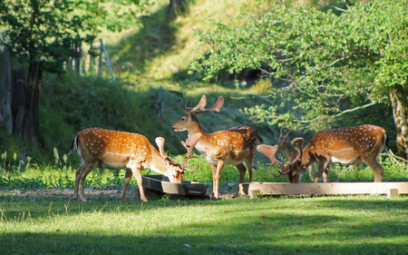 several fallow deer males with spotted fur in deer park in summer, Hukvaldy, Czech Republic