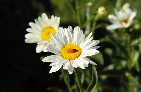 close photo of a ladybug feeding on the white bloom of daisy wheel