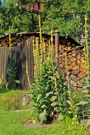 some mulleins with yellow blooms growing next to the fence of the garden in the village