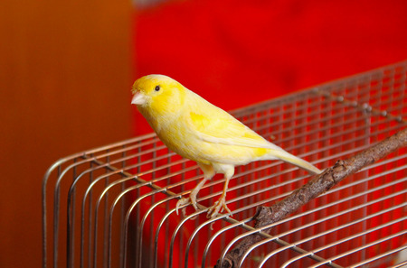 yellow canary sitting on the top of its cage Stock Photo