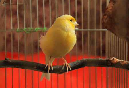 yellow canary sitting on  the twig in the cage 스톡 콘텐츠