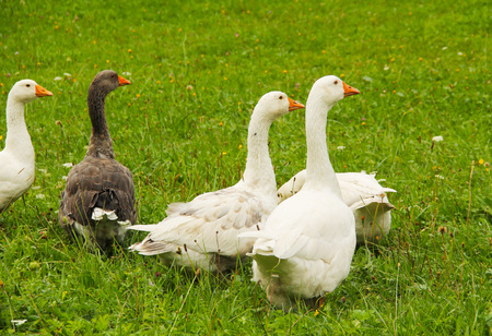 group of white geese with gray one on the meadow
