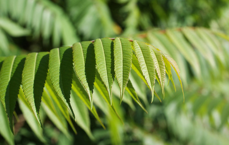green leaf of staghorn sumac (Rhus typhina)