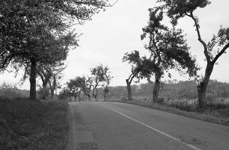 白と黒の曲がった枝を持つリンゴの木の古い通りを道