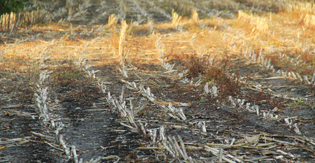 stubble on the field in autumn after harvest Stock Photo