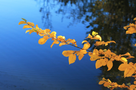 hazel branches: twig of a common hazel with bright yellow leaves in contrast with deep blue water at the background