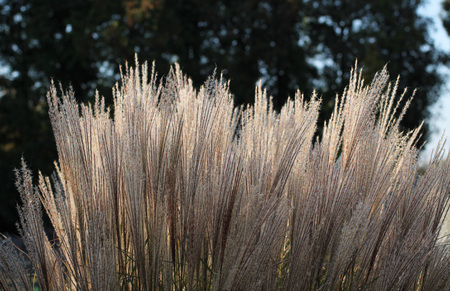 growth of nice ornamental grass enlightened with the evening light Stock Photo