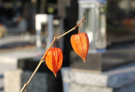 close photo of orange fruits of ornamental plant Chinese lantern (Physalis alkekengii) on the cemetery Stock Photo