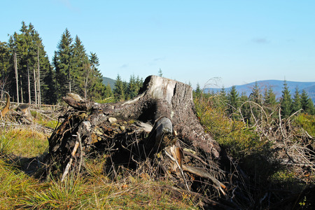 big stump of cut tree in the nature Stock Photo