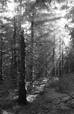 black and white photo of sunbeams shining into the dark eery spruce forest Stock Photo