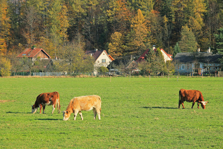 editorial photo of some cows grazing on the pasture near the village, Prazmo, Czech Republic Editorial