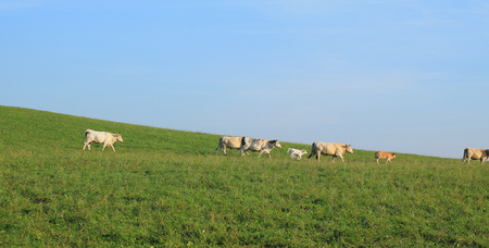 herd of cows and calves running on the green meadow Stock Photo