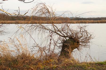 池の土の上に生えている裸の枝を持つ柳の木