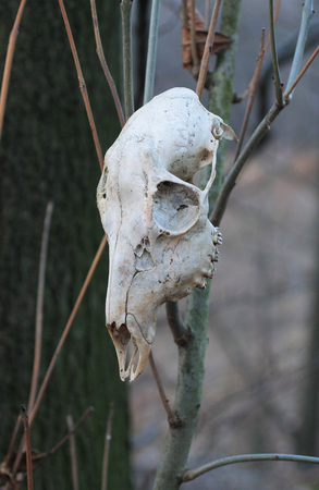 skull of roe deer hanging on the branch in the forest