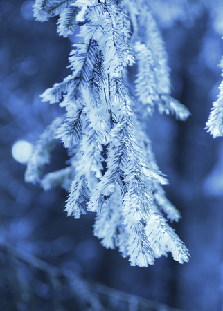spruce twig covered with snow and hoarfrost in blue tones