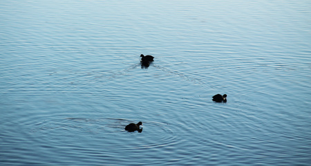 three European coots (Fulica atra) on the dam