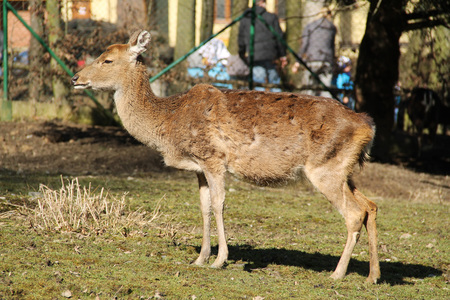 axis deer female in the outdoor enclosure
