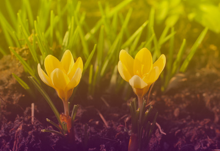 close photo of two blooming yellow crocuses in warm light
