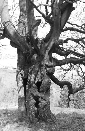 black and white photo of an old creepy rotting tree with crooked branches