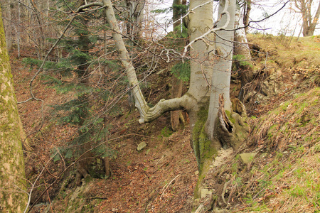 old big beech tree growig on the slope, Beskydy mountains, Czech Republic