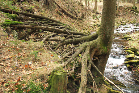 spruce tree with revealed bizarre roots growing above a brook, Beskydy mountains, Czech Republic 스톡 콘텐츠