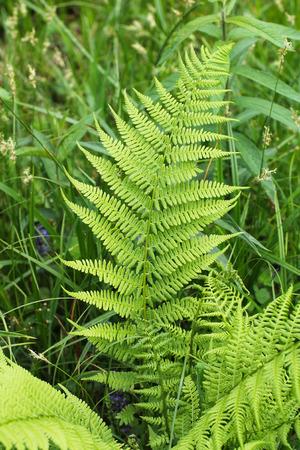 nice green leaf of the male fern (Dryopteris filix-mas)